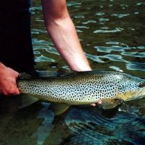 Back Country Trout